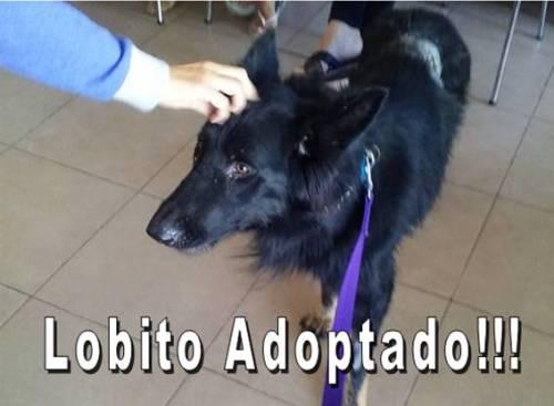 Lobito adoptado